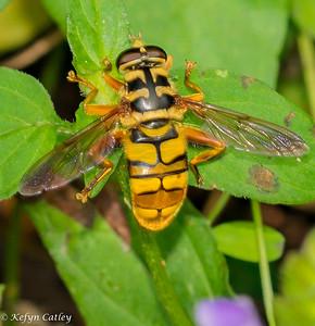 DIPTERA: Syrphidae: Milesia virginiensis, news bee