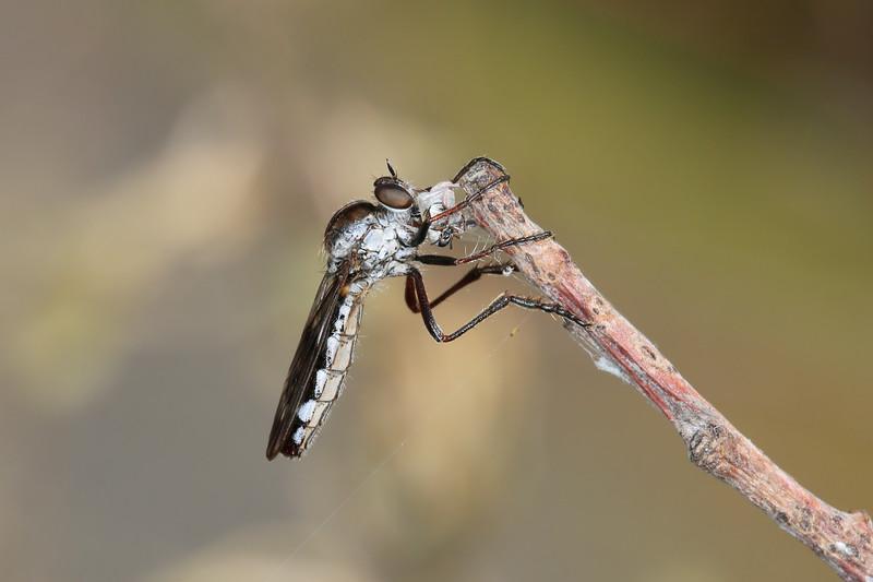 Robber Fly Feeding (Asilidae)