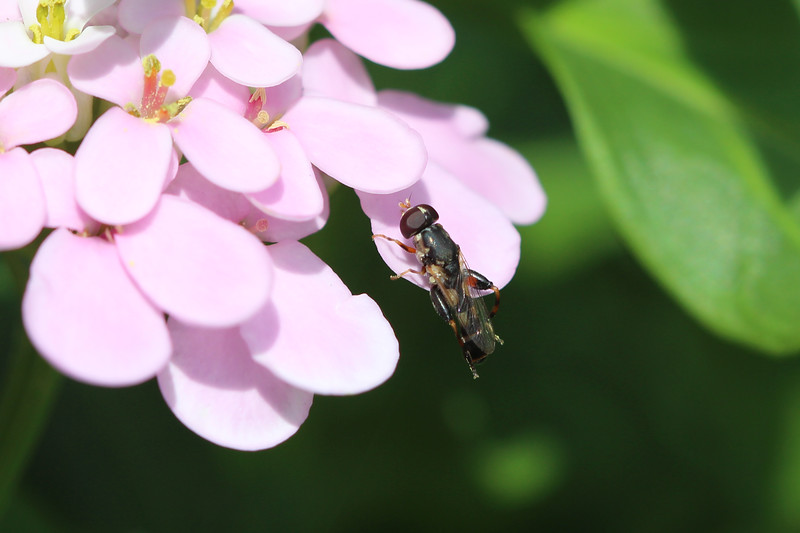 Hover Fly (Syrphidae)