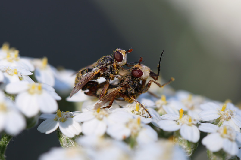 Thick-Headed Flies Mating (Conopidae)