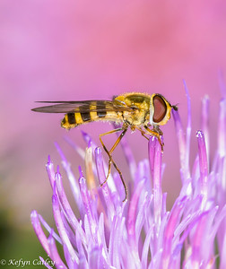 DIPTERA: Syrphidae, Syrphus sp. hoverfly