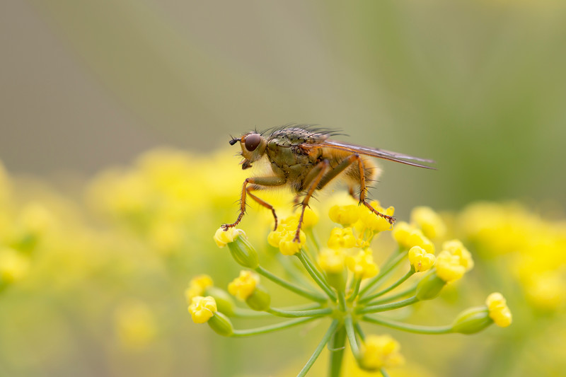 Dung Fly (Scathophagidae)