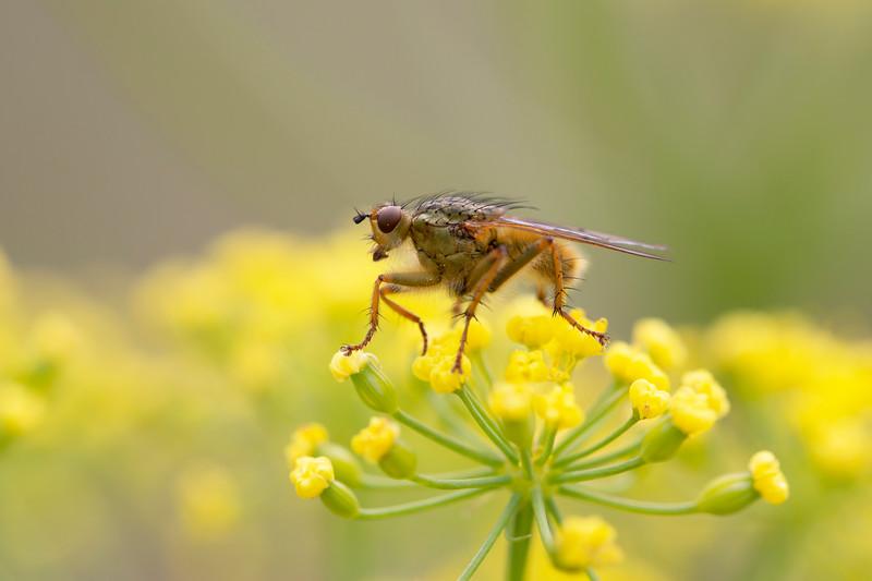 Dung Fly (Scathophagidae)