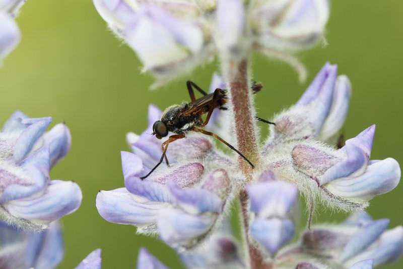 Snipe Fly (Rhagionidae)