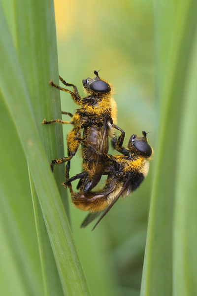 Hover Flies Mating (Syrphidae)