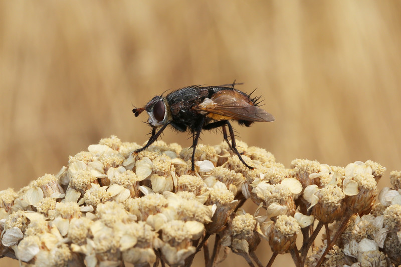 Tachinid Fly (Tachinidae)
