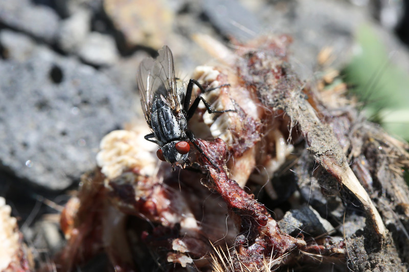 Flesh Fly (Sarcophagidae)