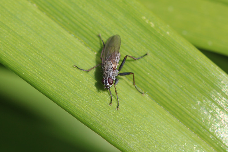 Calypterate Fly (Diptera)