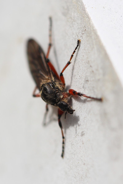 March Fly (Bibionidae)