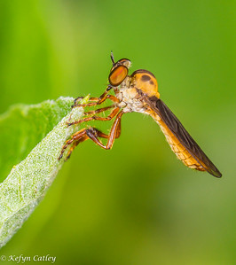 DIPTERA: Asilidae: Robber fly, Holcocephala fusca, gnat-ogre