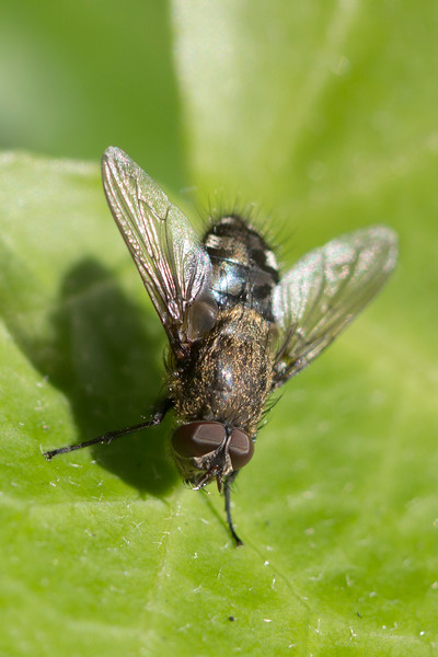 Cluster Fly (Pollenia)