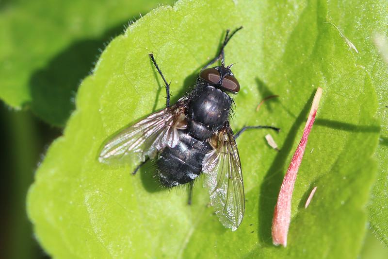 Calyptratae Fly