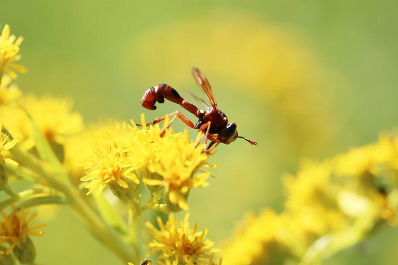 Thick-headed Fly (Physocephala)