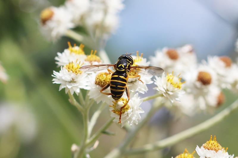 Hover Fly Wasp Mimic (Spilomyia citima)