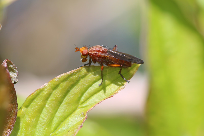 Marsh Fly (Sciomyzidae)