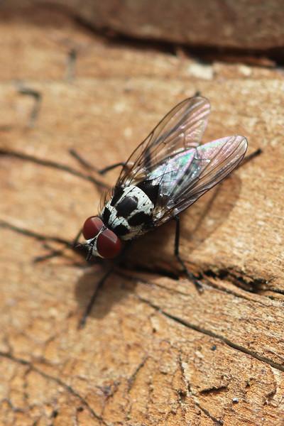 Root-Maggot Fly (Anthomyiidae)