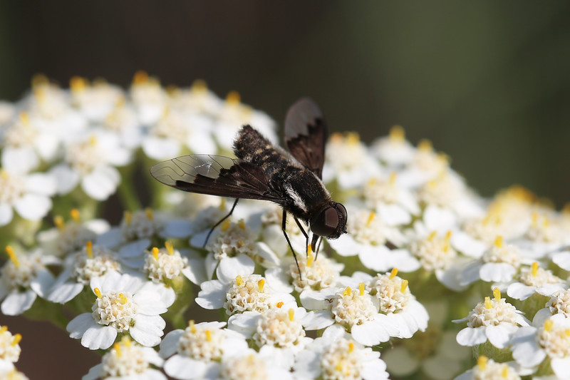 Bee Fly (Bombyliidae)