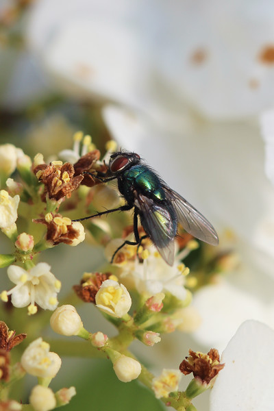 Blow Fly (Calliphoridae)