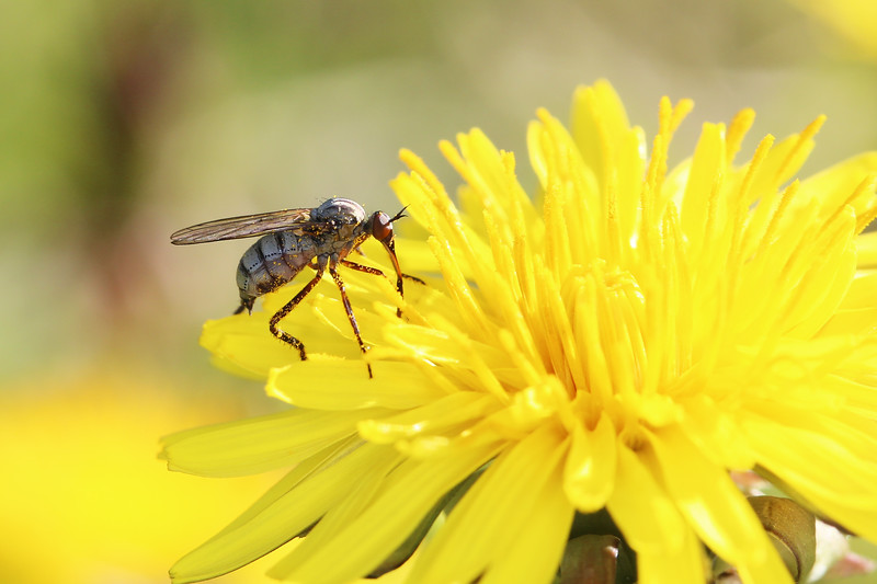 Dance Fly (Empididae)