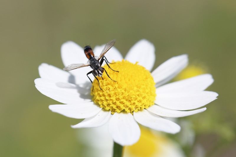 Tachinid Fly (Tachinidae)