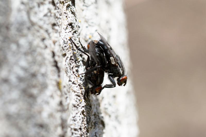 Flesh Flies Mating (Sarcophagidae)
