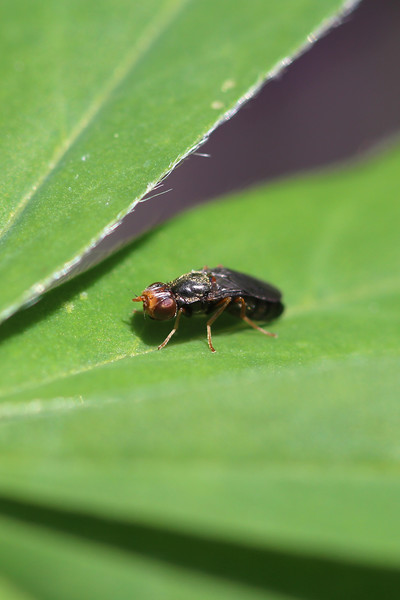 Rust Fly (Psilidae)