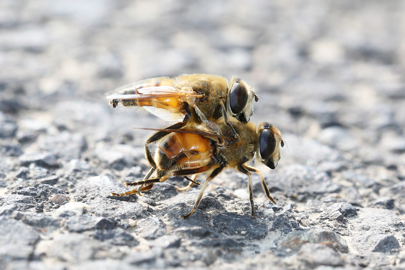 Hoverflies Mating (Syrphidae)