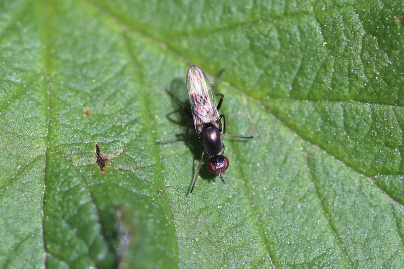 Black Scavenger Fly (Sepsidae)