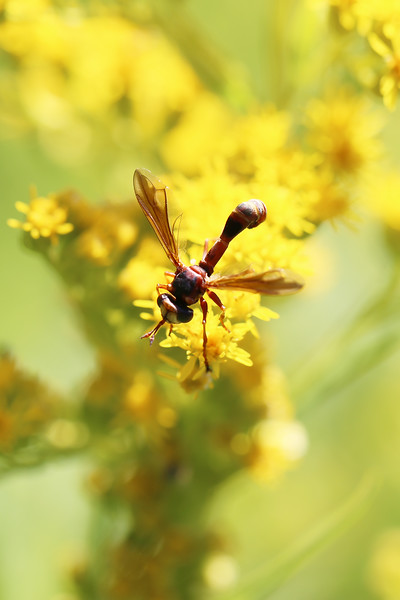 Thick-headed Fly (Physocephala)