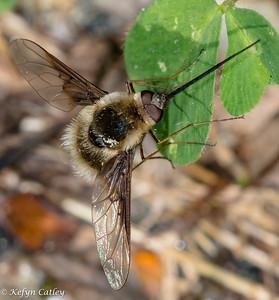 DIPTERA: Bombyliidae: Bombylius mexicanus