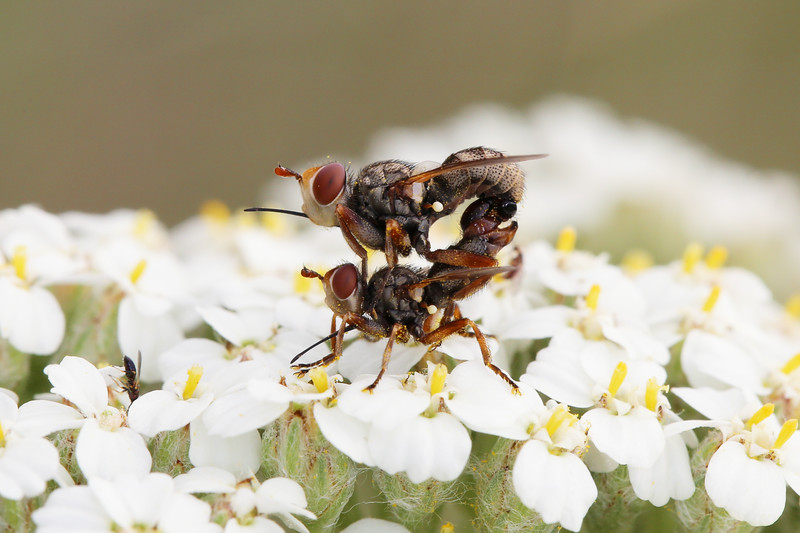 Pair of Thick-Headed Flies Mating (Conopidae)