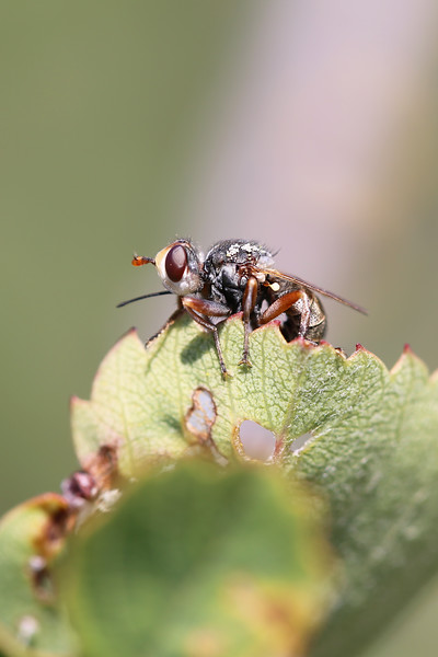 Thick-headed Fly (Conopidae)