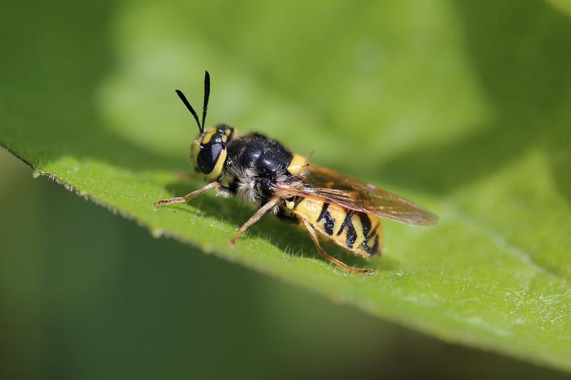 Soldier Fly (Stratiomyidae)