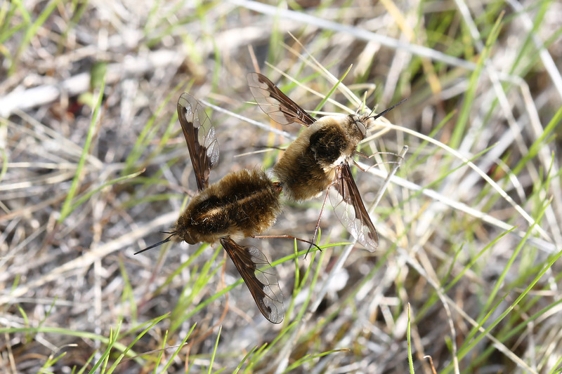 Bee Flies Mating (Bombyliidae)