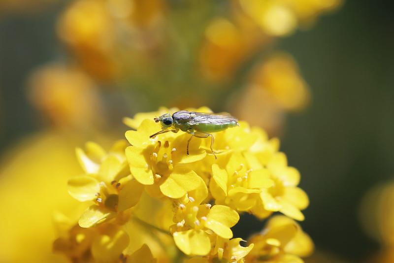 Grass Fly (Chloropidae)