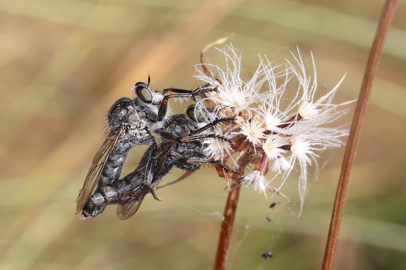Robber Flies Mating (Asilidae)