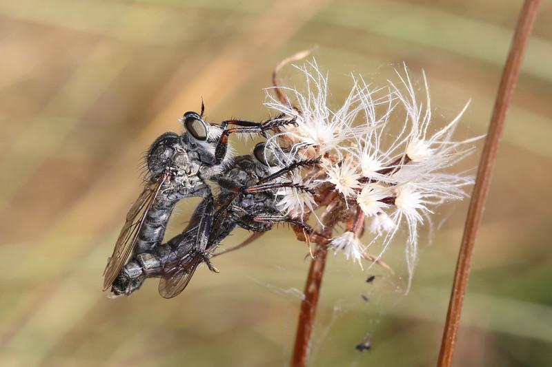 Robber Flies Mating (Asilidae)