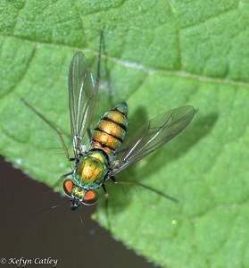 Longlegged Flies. Dolichopodidae: Condylostylus