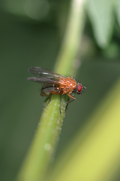 Calypterate Fly