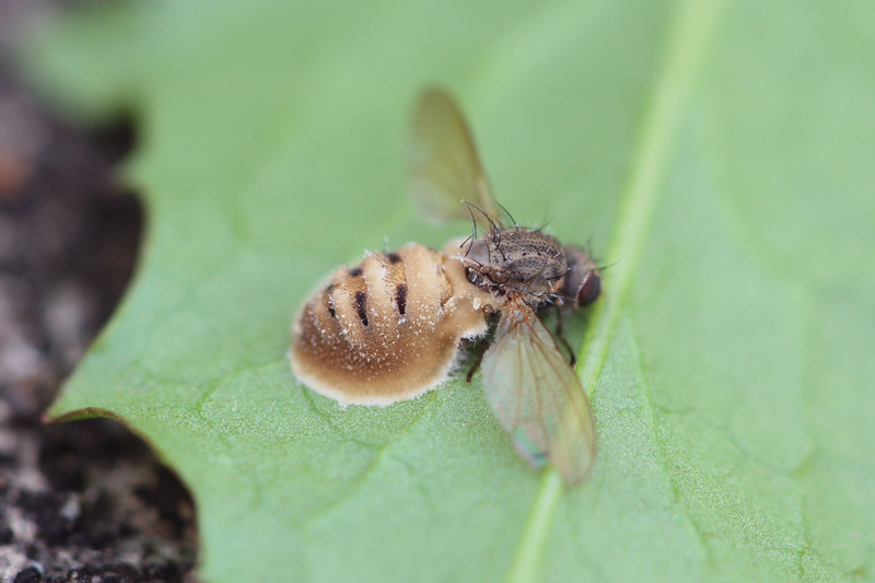 Entomopathogenic Fungus on Calypterate Fly