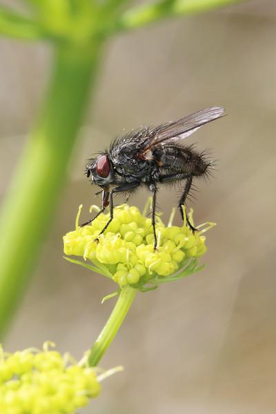 Calypterate Fly (Calyptratae)