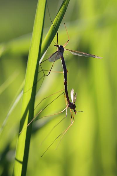 Crane Flies Mating (Tipulidae)