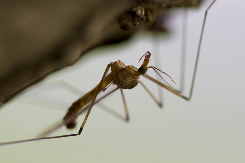 Crane Fly (Tipulidae)
