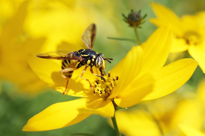 Hover Fly Wasp Mimic (Spilomyia)