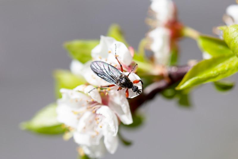 Female March fly (Bibionidae)