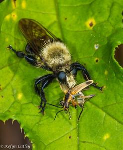 DIPTERA: Asilidae: Laphria sp., robberfly eating soldier beetle