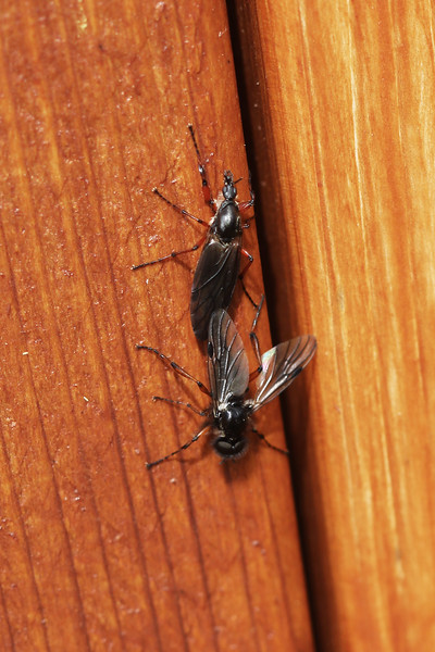March Flies Mating (Bibionidae)