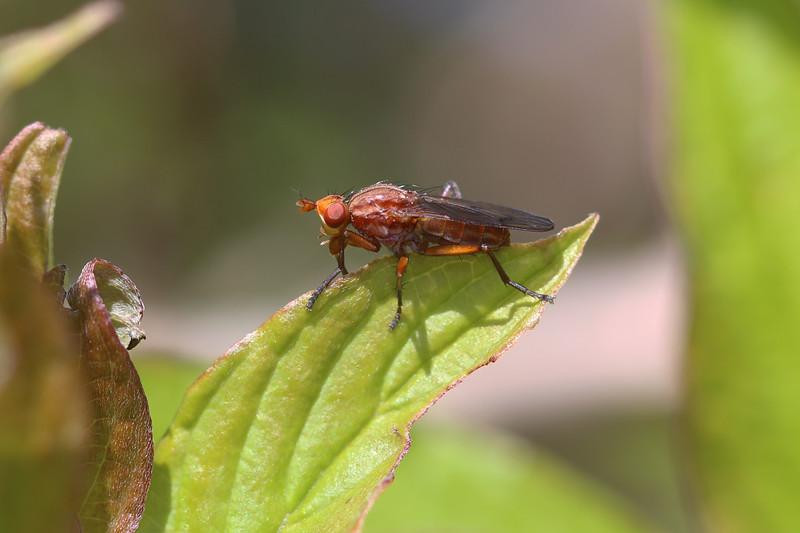 Marsh Fly (Sciomyzidae)