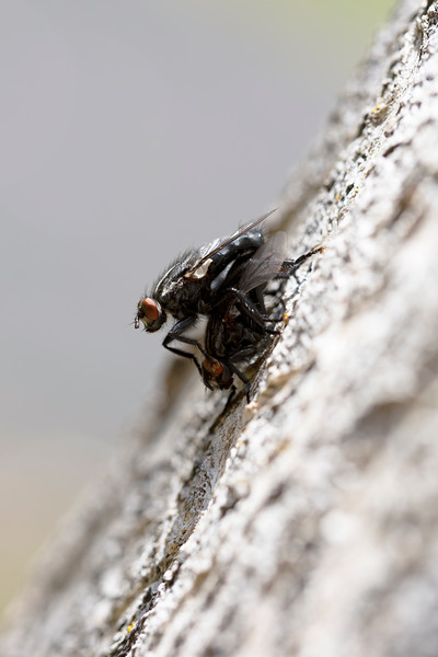 Flesh Flies Mating (Sarcophagidae)