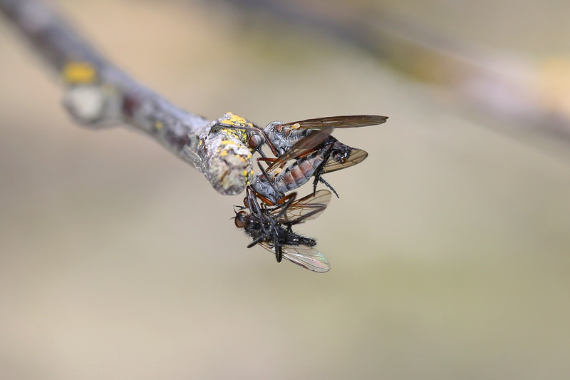 Dance Flies Mating (Empididae)